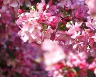 Δέντρο μηλιάς παραδείσου που ανθίζει στο ροζ Στοκ εικόνες με δικαίωμα ελεύθερης χρήσης