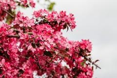 Δέντρο μηλιάς παραδείσου Στοκ εικόνες με δικαίωμα ελεύθερης χρήσης