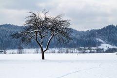 Δέντρο μηλιάς το χειμώνα Στοκ Εικόνες