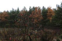 Δέντρο μηλιάς φθινοπώρου Στοκ φωτογραφία με δικαίωμα ελεύθερης χρήσης