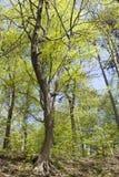 Δέντρο μορφής του S με τα φρέσκα φύλλα Στοκ φωτογραφία με δικαίωμα ελεύθερης χρήσης
