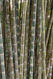 Δέντρο μπαμπού Στοκ Εικόνα