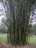 Δέντρο μπαμπού Στοκ Φωτογραφία