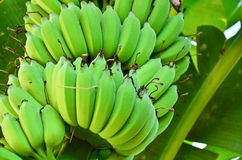Δέντρο μπανανών με μια δέσμη των μπανανών Στοκ Εικόνα