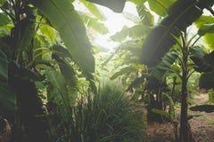 Δέντρο μπανανών με τη δέσμη της ανάπτυξης των ώριμων πράσινων μπανανών Στοκ φωτογραφία με δικαίωμα ελεύθερης χρήσης