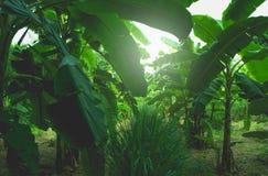 Δέντρο μπανανών με τη δέσμη της ανάπτυξης των ώριμων πράσινων μπανανών Στοκ φωτογραφίες με δικαίωμα ελεύθερης χρήσης