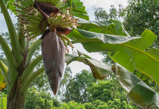 Δέντρο μπανανών με τη δέσμη της ανάπτυξης των ώριμων πράσινων μπανανών Στοκ Εικόνες