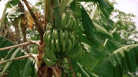 Δέντρο μπανανών με τις μπανάνες απόθεμα βίντεο