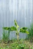 Δέντρο μπανανών με το γαλβανισμένο τοίχο σιδήρου Στοκ εικόνες με δικαίωμα ελεύθερης χρήσης
