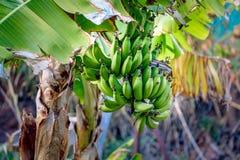 Δέντρο μπανανών Στοκ φωτογραφίες με δικαίωμα ελεύθερης χρήσης