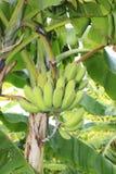 Δέντρο μπανανών Στοκ Εικόνες
