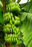 Δέντρο μπανανών Στοκ Φωτογραφίες
