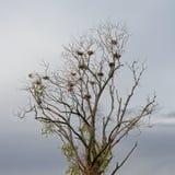 Δέντρο μπαρών με τις ccormorant φωλιές σε έναν νεφελώδη ουρανό στοκ εικόνες με δικαίωμα ελεύθερης χρήσης