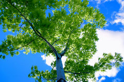 δέντρο μπλε ουρανού Στοκ Εικόνες