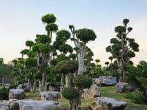 Δέντρο μπονσάι, διακοσμημένο δέντρο, streblus asper, σιαμέζος τραχύς θάμνος, οδοντόβουρτσα στον κήπο Στοκ φωτογραφία με δικαίωμα ελεύθερης χρήσης