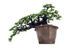 Δέντρο μπονσάι κομψό στο καφετί βάζο Στοκ φωτογραφία με δικαίωμα ελεύθερης χρήσης