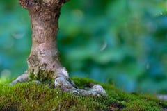 Δέντρο μπονσάι με τον κορμό και ρίζες στο βρύο Στοκ Εικόνες
