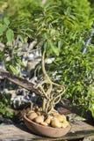 Δέντρο μπονσάι σε ένα δοχείο στοκ εικόνες
