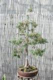 Δέντρο μπονσάι σε ένα δοχείο, μπονσάι πεύκων Στοκ φωτογραφίες με δικαίωμα ελεύθερης χρήσης