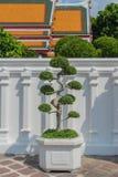 Δέντρο μπονσάι σε Wat Pho Kaew, Μπανγκόκ, Ταϊλάνδη Στοκ Εικόνα