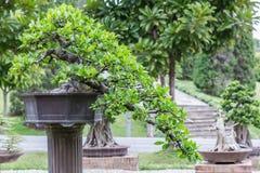 Δέντρο μπονσάι στο κεραμικό δοχείο στον κήπο μπονσάι Μικρό μπονσάι για την εσωτερική εξωτερική διακόσμηση Στοκ Φωτογραφία