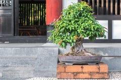 Δέντρο μπονσάι στο κεραμικό δοχείο στον κήπο μπονσάι Στοκ εικόνες με δικαίωμα ελεύθερης χρήσης