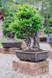 Δέντρο μπονσάι στο κεραμικό δοχείο στον κήπο μπονσάι Στοκ Εικόνα