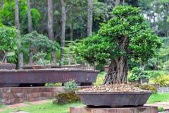 Δέντρο μπονσάι στο κεραμικό δοχείο στον κήπο μπονσάι Στοκ Φωτογραφία