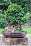Δέντρο μπονσάι στο κεραμικό δοχείο στον κήπο μπονσάι Στοκ φωτογραφία με δικαίωμα ελεύθερης χρήσης