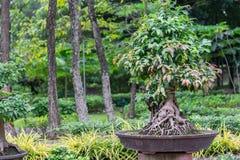 Δέντρο μπονσάι στο κεραμικό δοχείο στον κήπο μπονσάι Στοκ Εικόνες