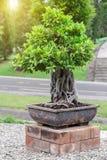 Δέντρο μπονσάι στο κεραμικό δοχείο στον κήπο μπονσάι Στοκ Φωτογραφίες