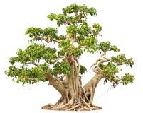 δέντρο μπονσάι Στοκ Εικόνα