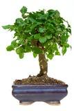 δέντρο μπονσάι στοκ φωτογραφίες με δικαίωμα ελεύθερης χρήσης