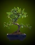 Δέντρο μπονσάι Στοκ εικόνες με δικαίωμα ελεύθερης χρήσης