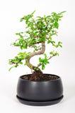 Δέντρο μπονσάι στοκ φωτογραφία με δικαίωμα ελεύθερης χρήσης