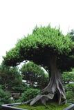 δέντρο μπονσάι Στοκ Φωτογραφία