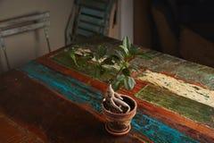 Δέντρο μπονσάι Ficus στον παλαιό ξύλινο πίνακα Στοκ εικόνα με δικαίωμα ελεύθερης χρήσης