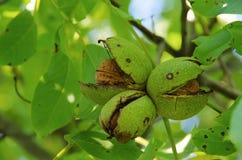 Δέντρο ξύλων καρυδιάς στοκ εικόνες με δικαίωμα ελεύθερης χρήσης