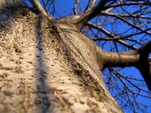 Δέντρο ξύλων καρυδιάς στοκ φωτογραφίες με δικαίωμα ελεύθερης χρήσης