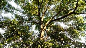 Δέντρο ξύλων καρυδιάς Στοκ Εικόνες