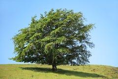 δέντρο ομορφιάς Στοκ Εικόνα