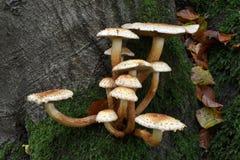 Δέντρο οξιών με ένα λεκιασμένο parasol hetieri Cystolepiota μανιτάρι. Στοκ φωτογραφία με δικαίωμα ελεύθερης χρήσης