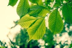 Δέντρο οξιών με τα πράσινα φύλλα Στοκ Φωτογραφία