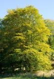 Δέντρο οξιών στην έναρξη της πτώσης Στοκ Εικόνες