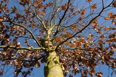 Δέντρο οξιών στον ήλιο πρωινού Στοκ Εικόνες