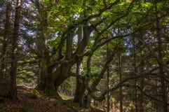 Δέντρο οξιών Στοκ Εικόνα