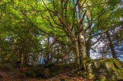 Δέντρο οξιών Στοκ Φωτογραφίες