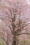 Δέντρο λουλουδιών που ανθίζει το καλοκαίρι, ρόδινη σάλπιγγα στοκ φωτογραφία με δικαίωμα ελεύθερης χρήσης