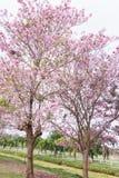 Δέντρο λουλουδιών στον κήπο, ρόδινο δέντρο σαλπίγγων στοκ εικόνα με δικαίωμα ελεύθερης χρήσης