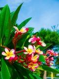 Δέντρο λουλουδιών Frangipani, λουλούδια plumeria Στοκ φωτογραφία με δικαίωμα ελεύθερης χρήσης